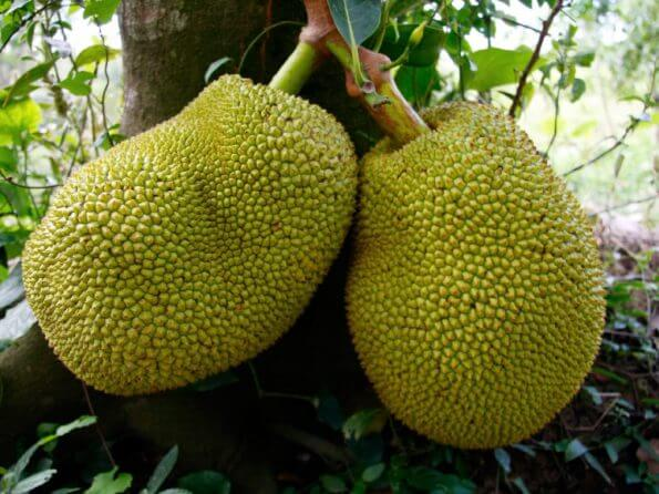 jackfruit-9672612823dce73bcdae08b37a708d8692d248d5-s900-c85